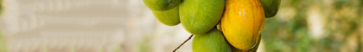Bild på en klase afrikansk mango som hänger kvar i trädet