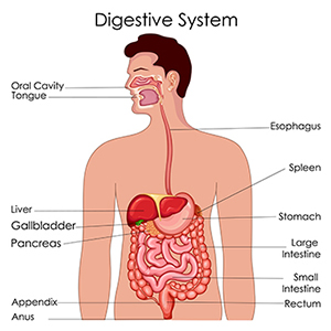 What is the digestive system?