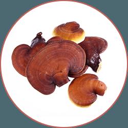reishi svampar, lingzhi svampar mot en vit bakgrund