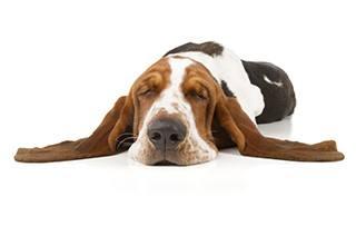 en basset hund ligger och sover med oronen utlagda pa varsin sida mot en vit bakgrund