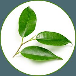 en liten kvist med grona tre grona blad mot en vit bakgrund