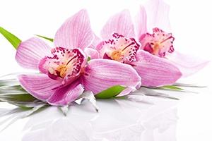 tre rosa blommor pa grona blad mot en helvit bakgrund